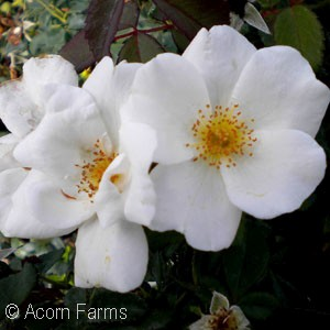 Knock Out shrub roses