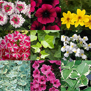 Annuals For Sun Shade And Part Sun Shade Light Requirements