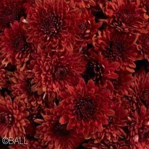 CHRYSANTHEMUM AVALON RED