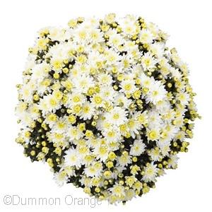 CHRYSANTHEMUM BLISS WHITE