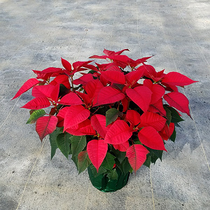 10 in Poinsettia