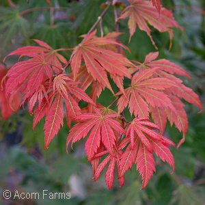 Featured Plants - Acer pse. 'North Wind'