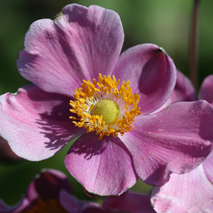 Featured Plant - Anemone 'Pink Kiss'