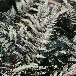 Featured Plant - Athyrium 'Red Beauty'
