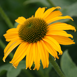 Featured Plant - Echinacea 'Dixie Sun' PP26160