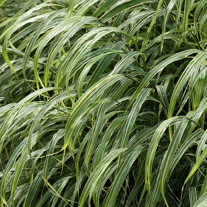 Featured Plant - Hackonechloa macra 'Albostriata'