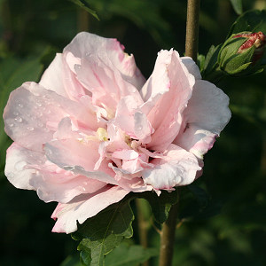 Featured Plants - 'Hibiscus syr. 'Blushing Bride'
