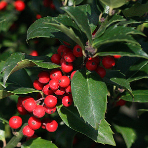 Featured Plants -  Ilex 'Red Beauty'