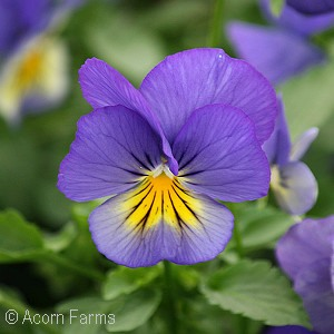 Pansy Cool Wave - 6 in