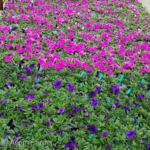Wave Petunia - 1 gallon containers