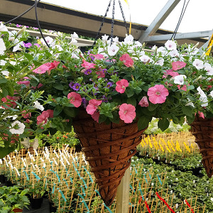 Featured Plant - 14 in. Cone Hanging Basket