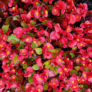Featured Plant - Bada Bing® Scarlet Begonia