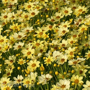 Featured Plant - Coreopsis 'Creme Brulee' PP16,096