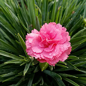 Featured Plant - Dianthus 'Classic Coral' PPAF