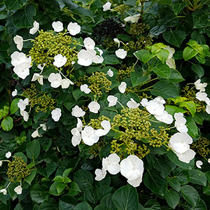 Featured Plants -  Hydrangea petiolaris