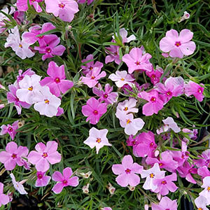 Featured Plant - Phlox 'Strawberries sub. and Cream'