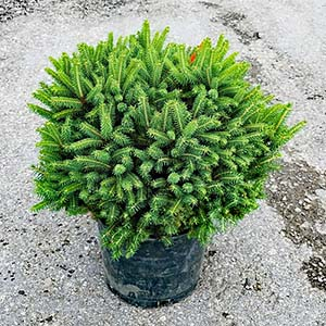 Featured Plants -  Fat Cat Norway Spruce