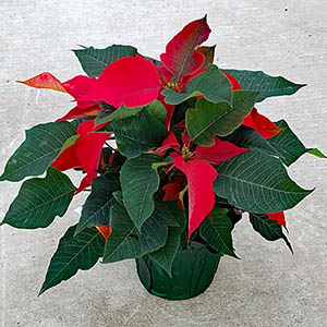 Featured Plant - Red Poinsettia