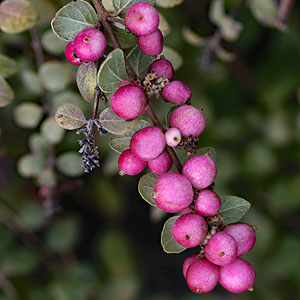 Featured Plants - Hancock Coralberry