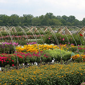 Featured Plant - Perennials - General Production