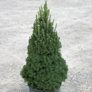 Featured Tree or Shrub