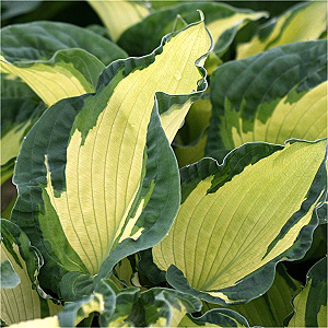 Hosta Highlights