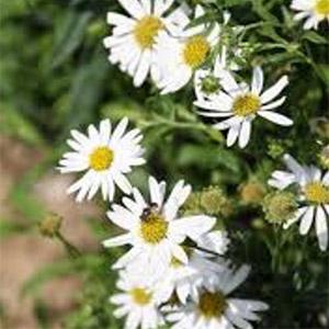 Kalimeris integrifolia 'Daisy Mae'
