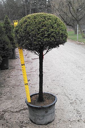 Patio Tree Type