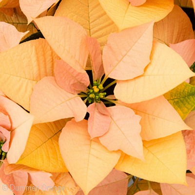 Autumn Leaves Poinsettia