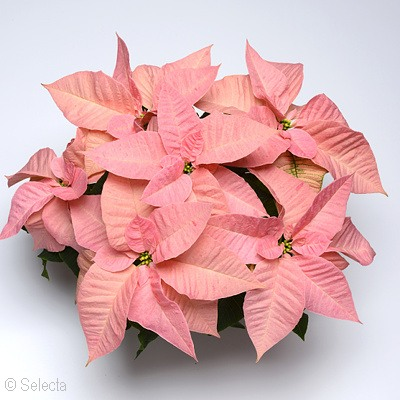 Poinsettia Christmas Ribbons