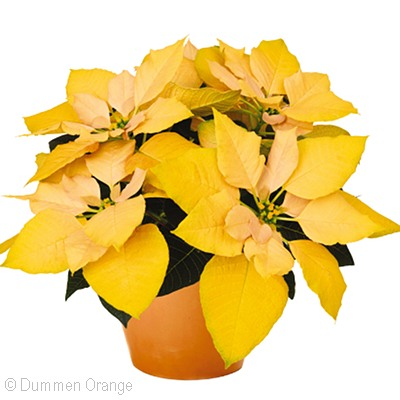 Gold Rush Poinsettia
