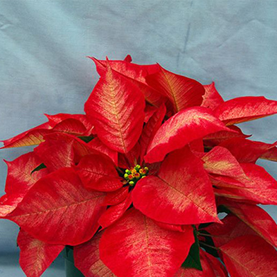Ice Crystals Poinsettia
