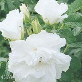 Rugosa Roses