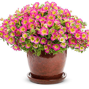 Annuals search by name acorn farms color yellow and pink flower light full sun mightylinksfo