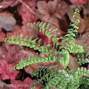 All Ferns