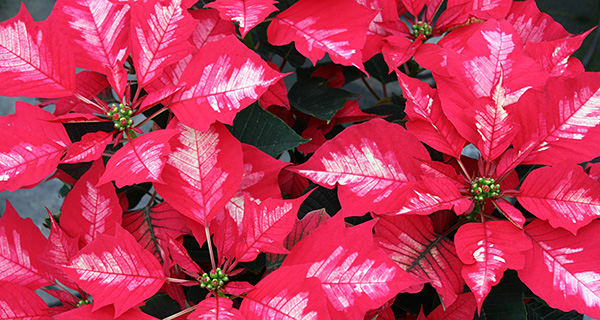 poinsettia availability