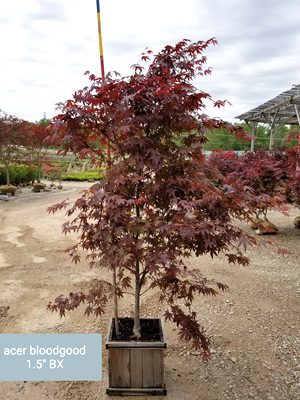 ACER PAL BLOODGOOD