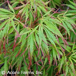 ACER PAL DIS SPRING DELIGHT