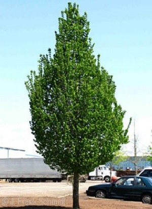 CARPINUS BET EMERALD AVENUE