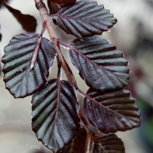 FAGUS SYL PURPLE FOUNTAIN