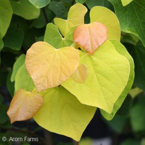 CERCIS CAN RISING SUN