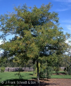 GLEDITSIA TRI TRUE SHADE