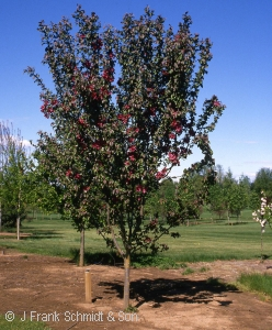 MALUS RED BARON