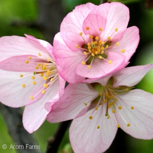 PRUNUS PINK FLAIR