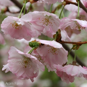 PRUNUS SUB ACCOLADE