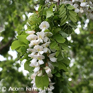 ROBINIA PSE TWISTY BABY