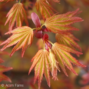 ACER PAL ORANGE DREAM