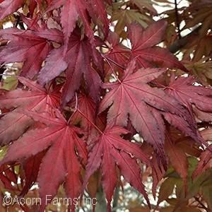 ACER PAL PURPLE GHOST