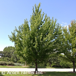 ACER FRE MARMO
