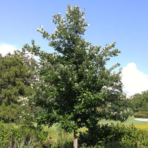 QUERCUS BICOLOR AMERICAN DREAM